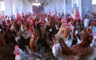 الزراعة: تخصيص أراضي صحراوية للإستثمار الداجني بواقع 700 جنية للفدان